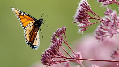 howbutterfliesevolved